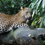 <div class='category'>Know before you go</div>Sri Lanka - Tracking Leopards in the Horton Plains
